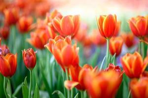 bouchent les champs de tulipes photo