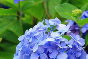 fleur d'hortensia bouchent