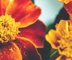 gros plan fleur de souci photo