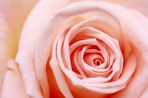 gros plan fleur rose