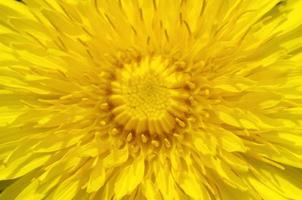 pissenlit jaune bouchent photo