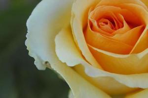 rose orange gros plan