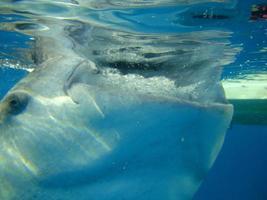 requin baleine bouchent photo