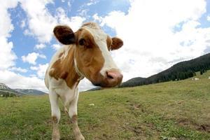 vache, pâturage, coup, fisheye, lentille, nuages photo