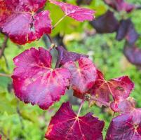 feuilles de vigne, gros plan photo