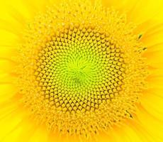 fond close-up de tournesol. photo