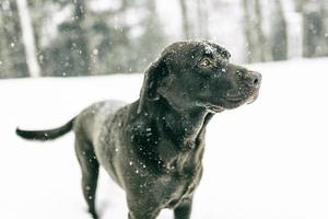 chiens berkshire photo