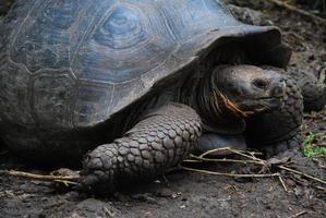 tortue géante sur l'île de floreana, galapagos