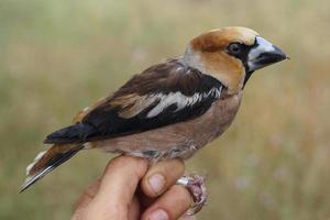 hawfinch, coccothraustes coccothraustes photo