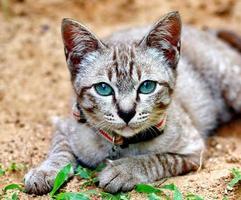 chat domestique photo
