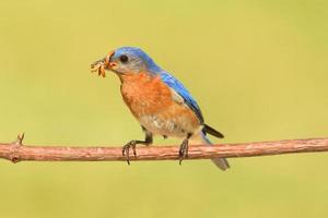 oiseau bleu mâle