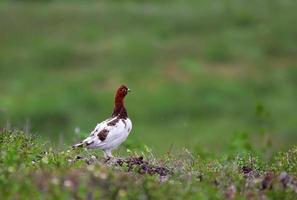 perdrix arctique mâle photo