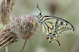 papilio machaon, homme