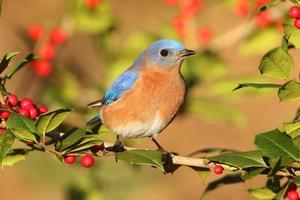 oiseau bleu mâle photo