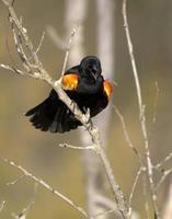 mâle à ailes rouges en état d'alerte photo