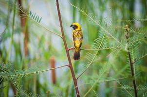 tisserand doré asiatique, oiseau mâle