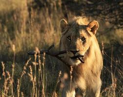 lion mâle ludique portant un bâton photo