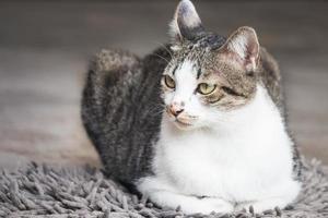 chat mâle, séance tapis photo