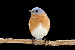 oiseau bleu mâle sur fond noir photo