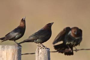 Cowbirds à tête brune mâle rassemblement