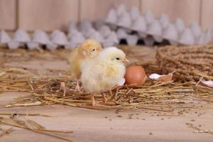 poulets jaunes et blancs