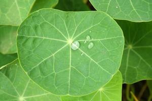 feuille de lotus photo