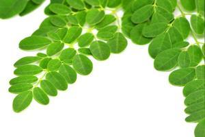 feuilles de moringa sur fond blanc photo