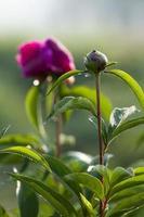 pivoine herbacée chinoise photo