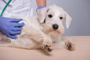 vétérinaire femelle examine petit chien avec stéthoscope photo