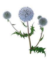 plante médicinale: échinops photo