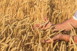 épis de blé doré mûrs dans sa main