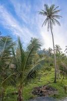 palmiers, jungle
