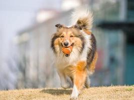 chien, courir, shetland, berger, balle, bouche photo