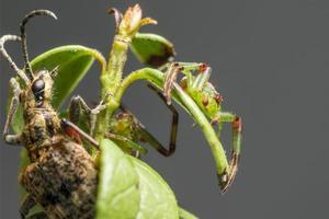 les pinces à points noirs soutiennent le scarabée et l'araignée verte du crabe photo