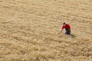 scène agricole, agriculteur ou agronome inspecter le champ de blé photo