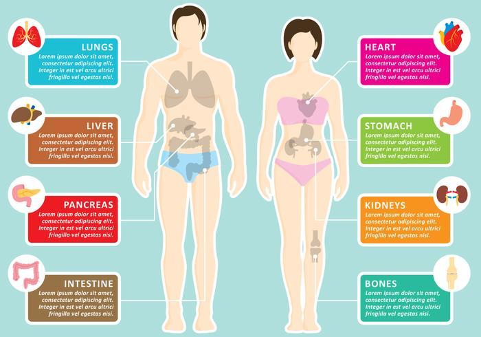 Infographie des organes humains vecteur