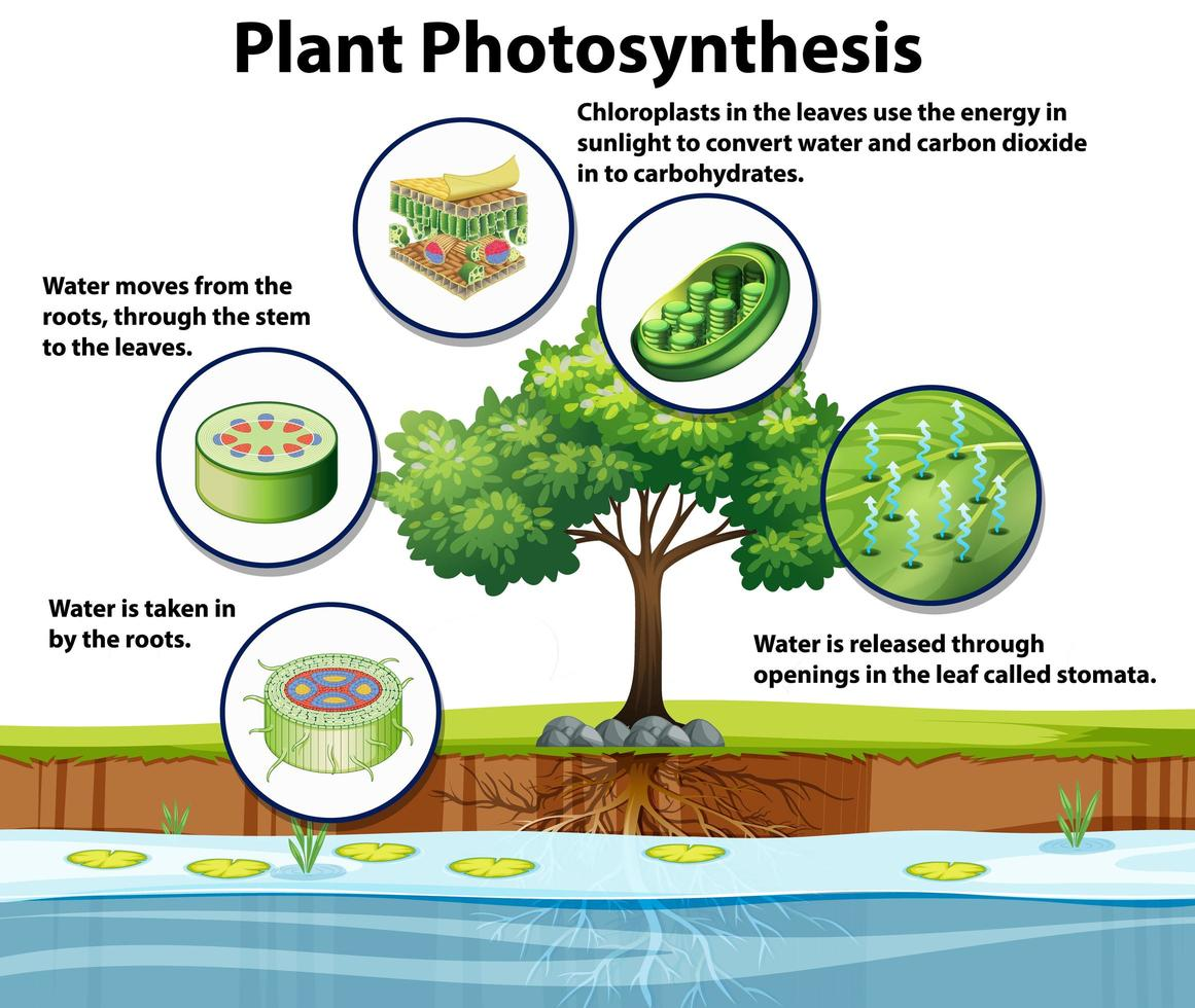 diagramme montrant la photosynthèse des plantes vecteur
