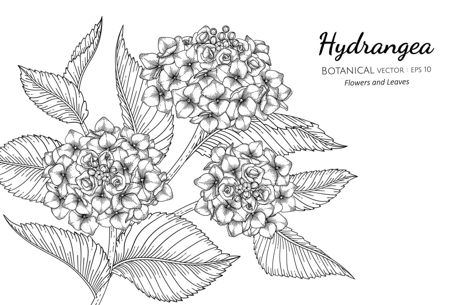 hortensia dessiné à la main vecteur