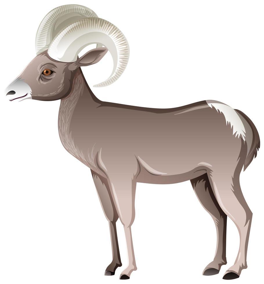 Mouflon d'Amérique du désert isolé sur fond blanc vecteur