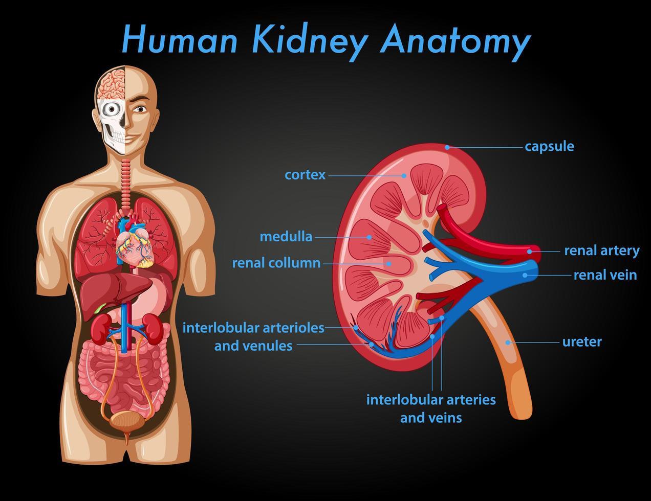affiche d'information sur l'anatomie du rein humain vecteur