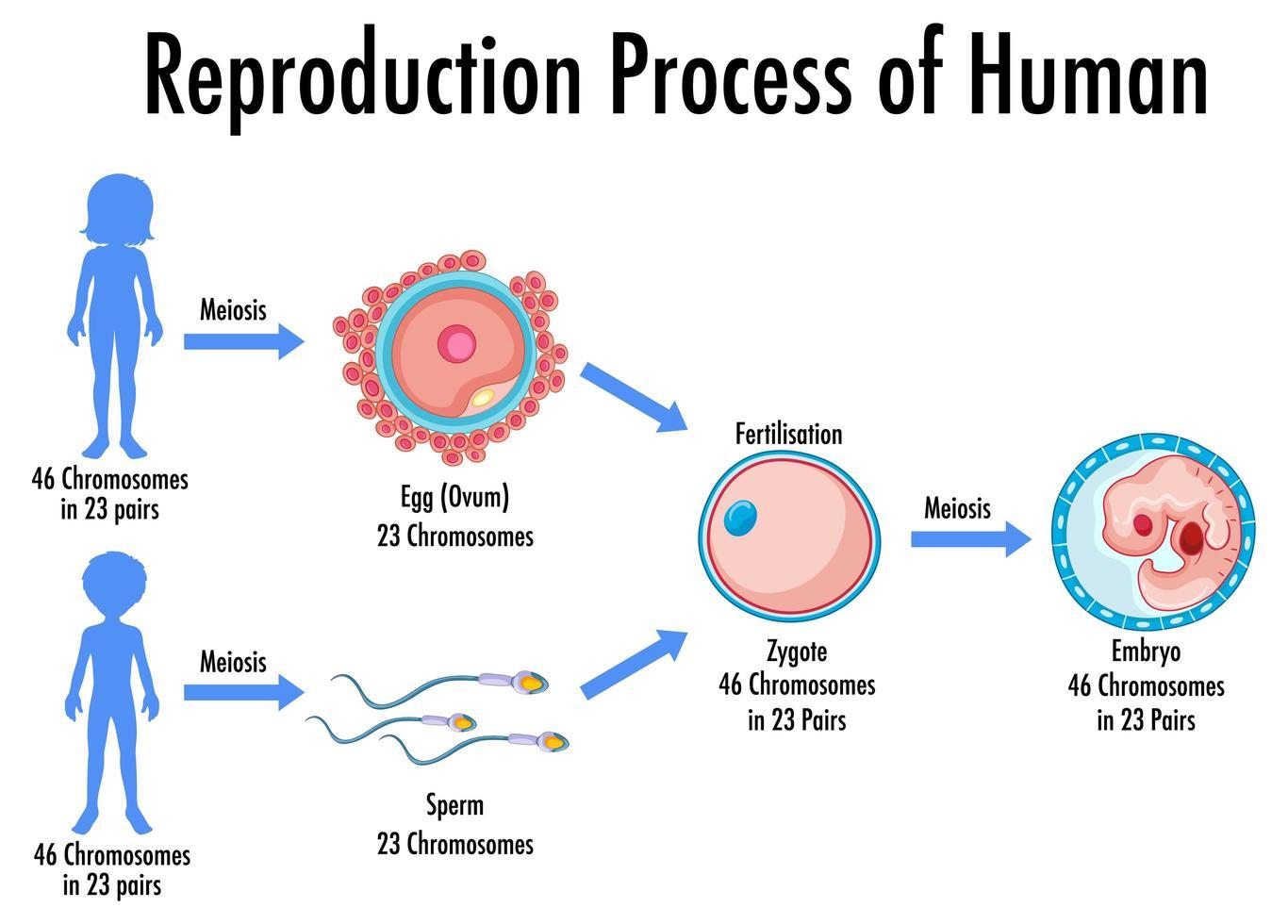 processus de reproduction de l'infographie humaine vecteur