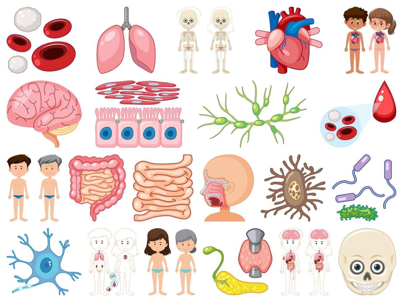 ensemble d'organes internes humains isolé sur fond blanc vecteur