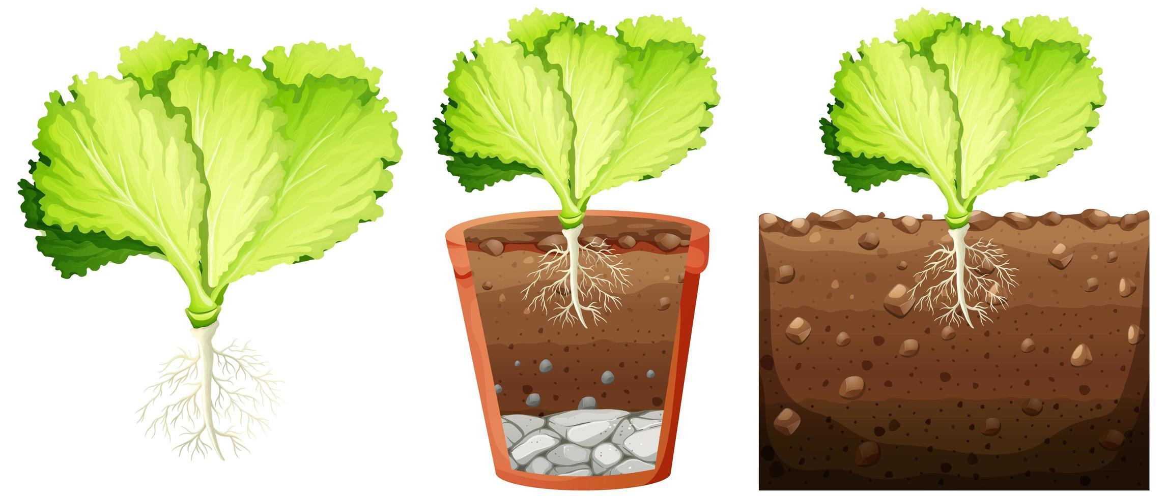 ensemble de plante de chou vecteur