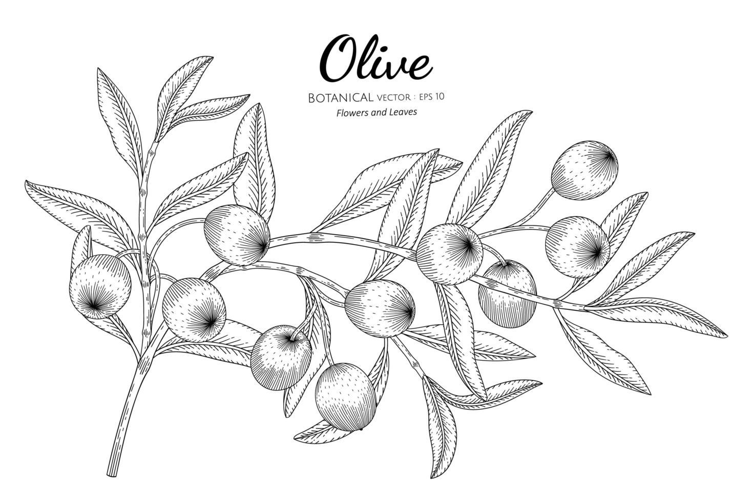 dessin au trait olives et feuilles dessinées à la main vecteur