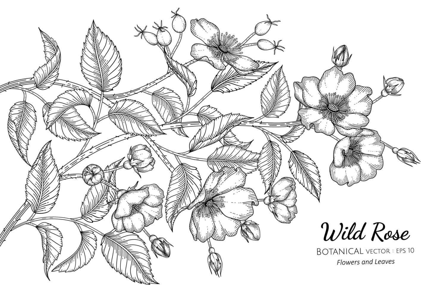dessin au trait de fleurs et de feuilles de roses sauvages dessinées à la main vecteur