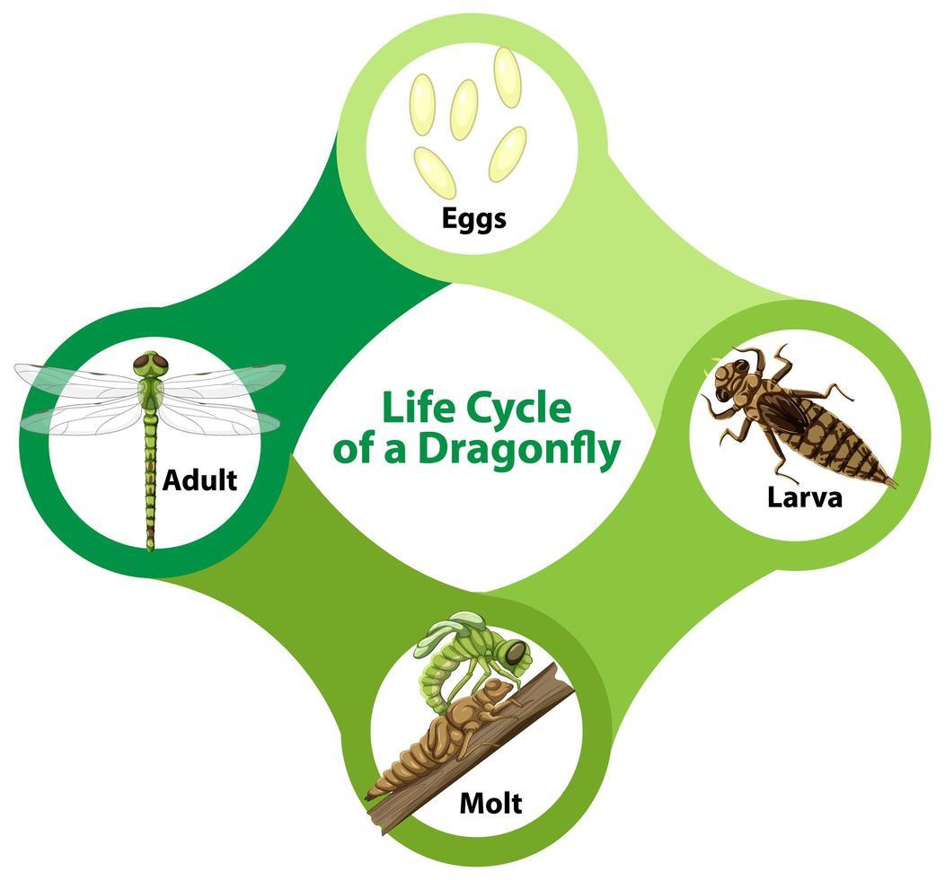 diagramme montrant le cycle de vie de la libellule vecteur