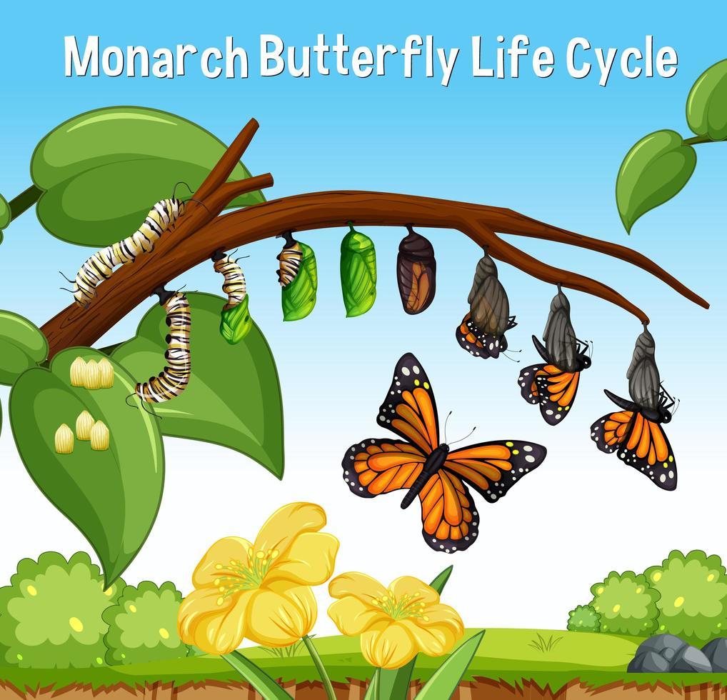 scène avec cycle de vie du papillon monarque vecteur