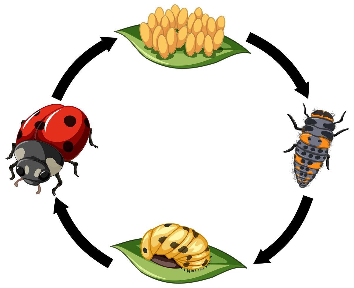 cycle de vie de coccinelle sur fond blanc vecteur