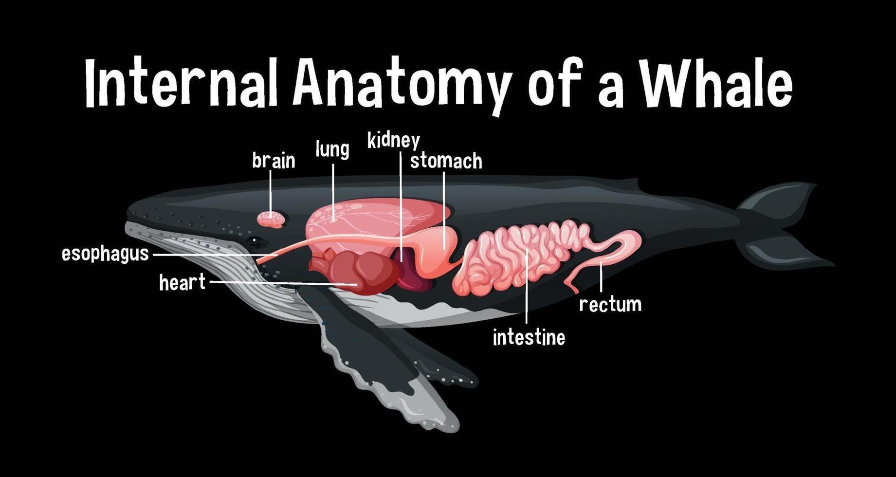 anatomie interne d'une baleine avec étiquette vecteur