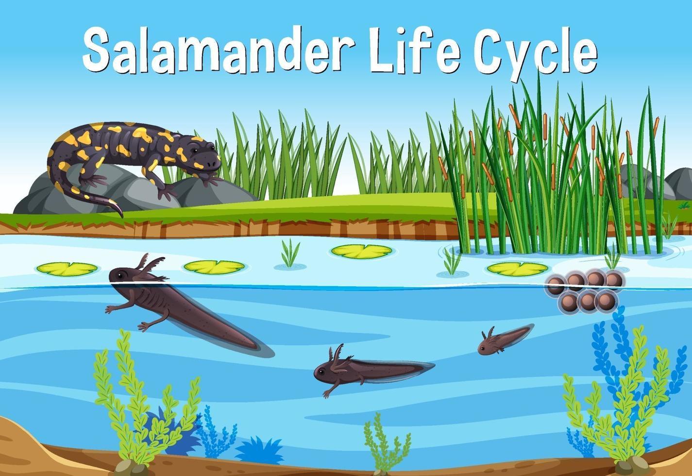 scène avec cycle de vie de la salamandre vecteur